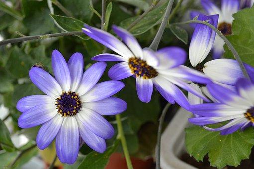 Daisies, Flowers, Switzerland, Nature, Spring, Garden