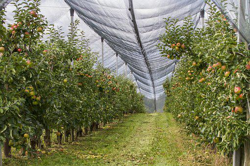 Orchard, Hail Net, Protection, Apple, Network, Fruit
