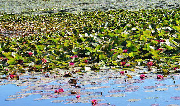 Water Lilies, Red, Dust
