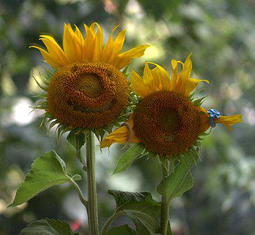 Sunflower, Pair, Love, Two, Funny