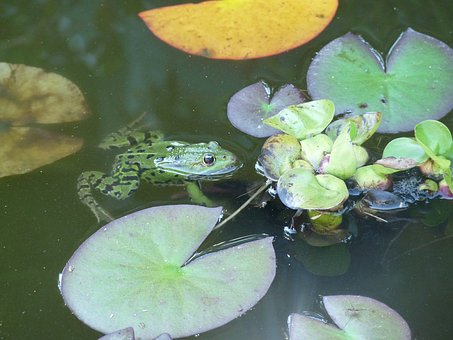 Water Lily, Frog, Basin