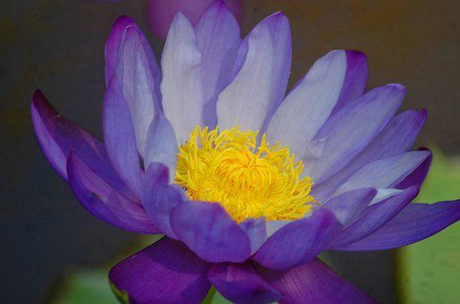 Flower, Nature, Plant, Aquatic, Waterlily, Pond, Water