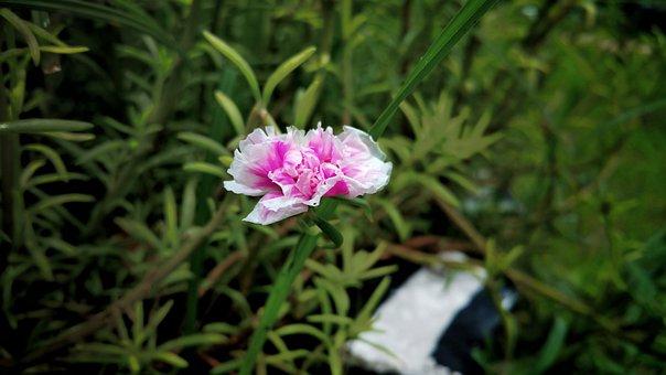 Flower, Pink, White Edge