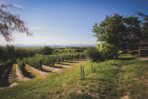 Lake Balaton, Summer, Wine, Wine Region, Grape, Hungary