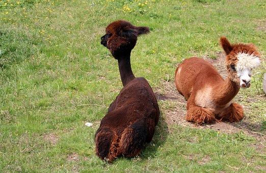 Alpaca, Lama, Animal, Peru, Fluffy, Furry