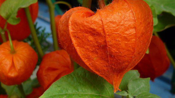 Chinese Lantern Flower, Blossom, Bloom, Orange