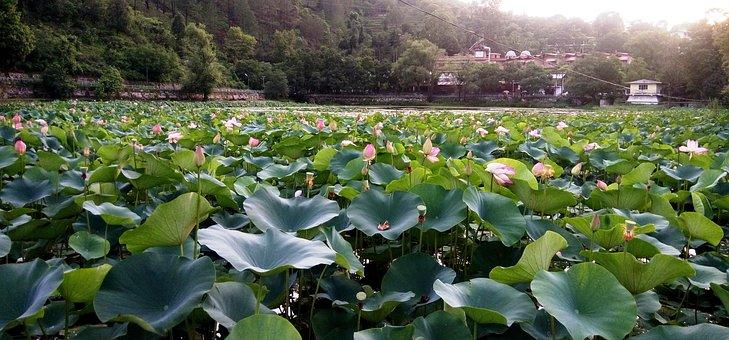 Lotus Flower, Pond, Blossom, Plant, Green, Lake