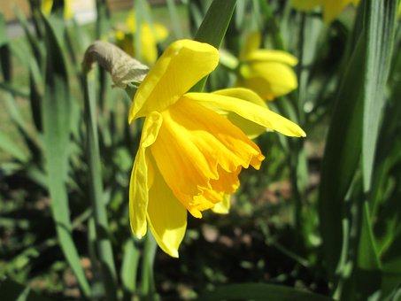Daffodil, Yellow Daffodil, Easter Lilies, Garden