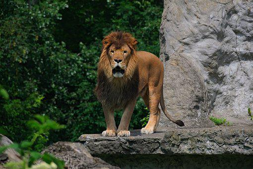Lion, Animal, Nature, Mammal, The Mane, Zoo, Feral Cat