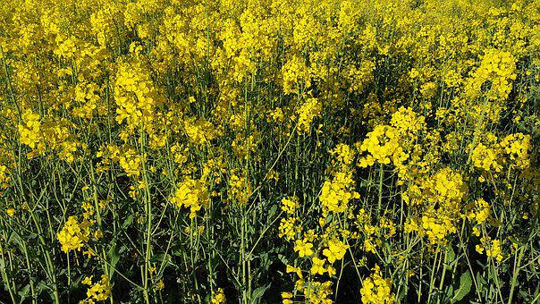 Rapeseed, Flowers, Field, Spring, Yellow, Plants
