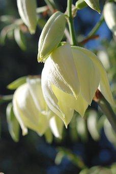 Yucca, Blossom, Bloom, Flower, White, Garden, Flora