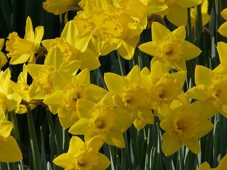 Daffodil, Spring, Yellow, Flower, Narcissus, Garden