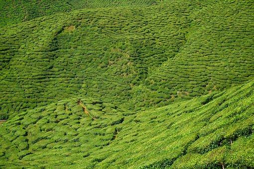 Field, Tea, Nature, Landscape, Green, Plant, Peace