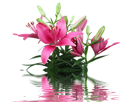 Lily, Pink Lily, Lily Family, Pink Flower