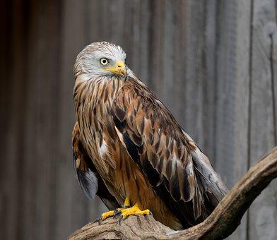 Red Kite, Raptor, Bird Of Prey, Milvus Milvus, Feather