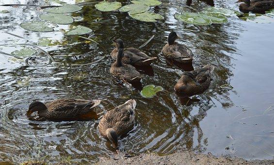Nature, Birds, Duck