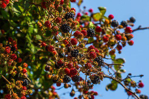Blackberries, Fruit, Nature, England