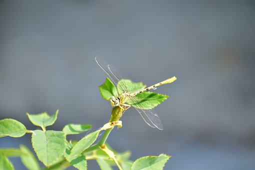 Dragonfly, Hover Fly, Insect, Nectar, Nature