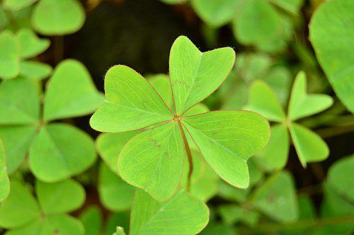 Clover, Four, Leaves, Nature