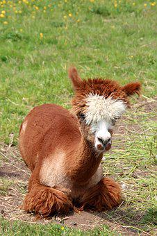 Alpaca, Lama, Animal, Peru, Fluffy, Furry