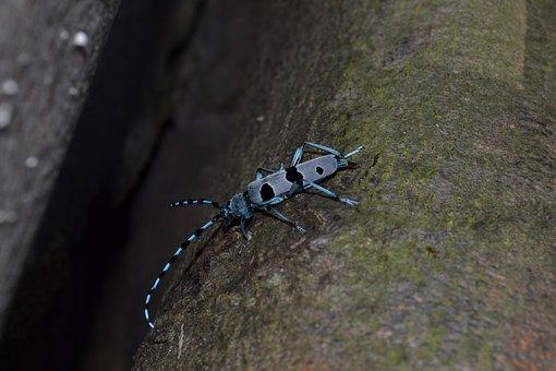 Beetle Alpine, Rosalia Alpina, Pilis, Hungary