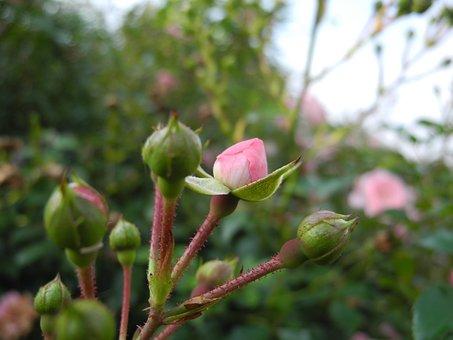 Flowers, Rosebuds, Pink, Buds, Rosebush, Flowering