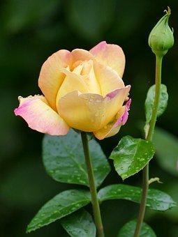 Flower, Rose, Yellow, Pink, Bud, Nature, Garden, Summer