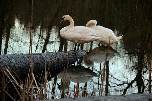Swan, Bird, Wild Birds, Water Bird, Swans, Nature