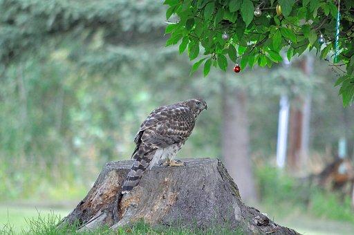 Hawk, Bird, Nature, Winged, Wild, Wildlife, Feather
