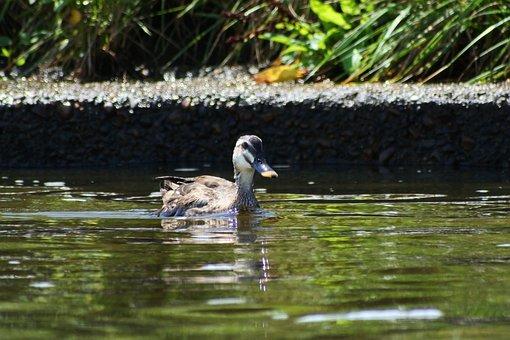 Animal, River, Waterside, Wild Birds, Duck