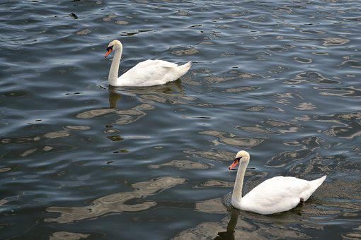 Swan, Birds, Wildlife, Nature, Animal, Swim, White