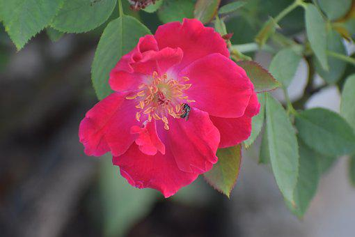 Rose, Honey Bee, Bee On A Flower, Pollination, Nectar