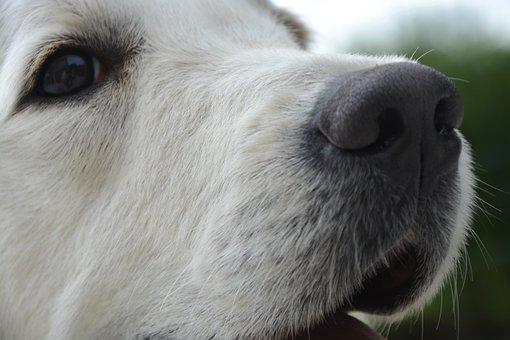 Dog, Bitch, Portrait, Eye, Truffle, Snout