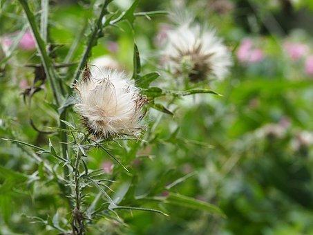 Thistle, Burdock, Climbing Thistle, Prickly, Plant