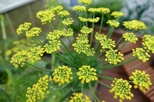 Fennel, Blossom, Bloom, Yellow, Filigree, Tender