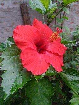 Hibiscus, Red, Flower, Beautiful