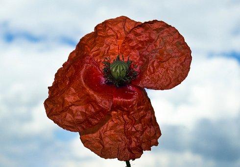 Poppy Flower, Flower, Red, Poppy, Nature, Color, Petal