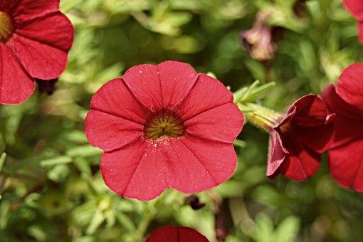 Petunia, Garden Petunia, Solanaceae, Red, Purple
