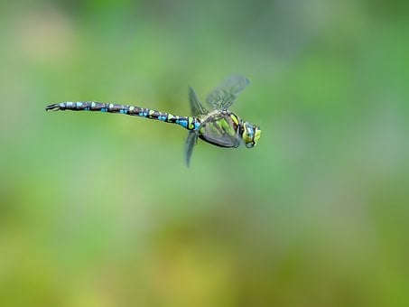 Dragonfly, Hawker, Blue Green, In Flight, Macro, Nature