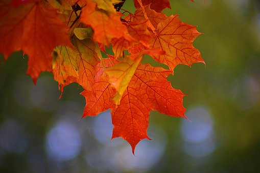 Autumn, Beauty, Maple, St Petersburg, Russia, Mood