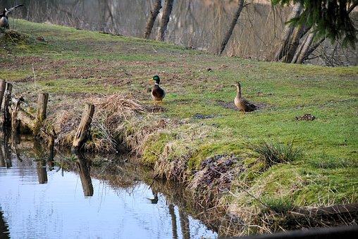 Duck, Animal, Nature, Bird