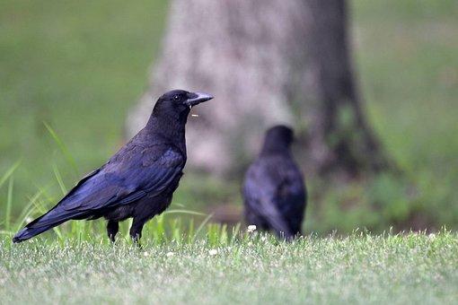 Bird, Crow, Animal, Portrait