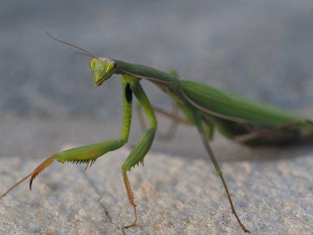 Praying Mantis, Green, Insect, Fishing Locust, Close