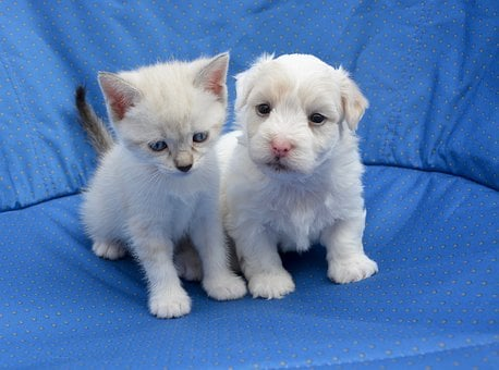 Puppy, Kitten, Dog Cat, Sweetness, Domestic Animal