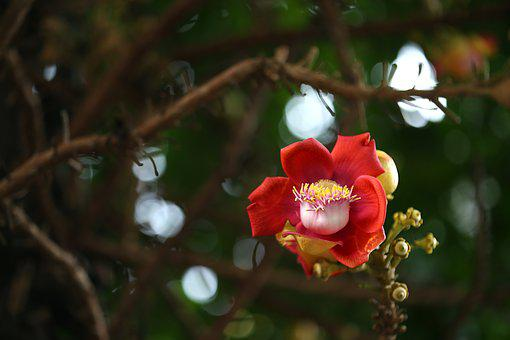 Flower, Tree, Asia, Botany, Brazil Nut, Cannonball Tree