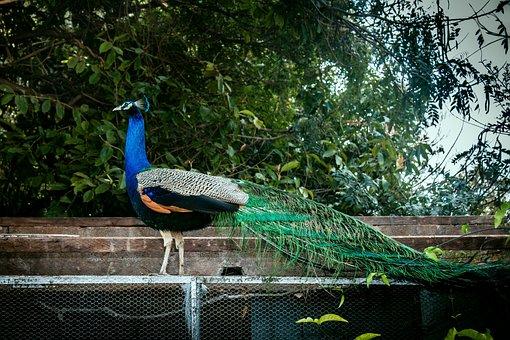Peacock, Peafowl, Bird, Colorful, Vibrant