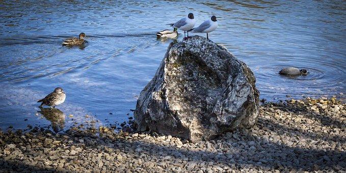 Gulls, Danube, Waterfowl, Seevogel, Stones
