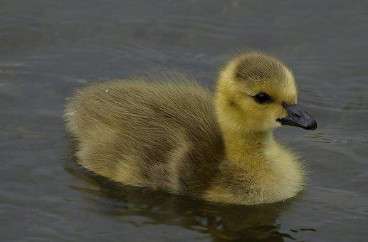 Canada Chick, Bird, Wildlife, Ornithology, Water, Duck