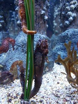 Seahorse, Aquarium, Underwater, Marine