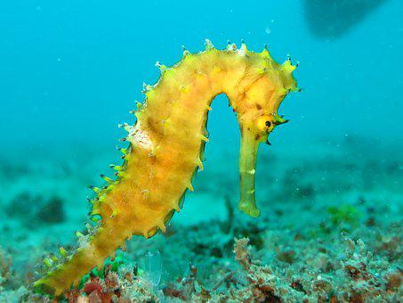 Seahorse, Sea-horse, Yellow, Marine, Ocean, Sea